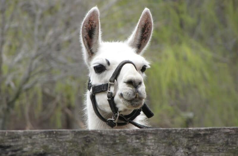 Llama sensory therapy
